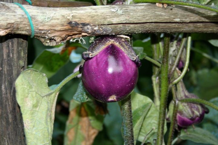 tuscan eggplant